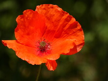 Poppy Flower (Papaver Rhoeas) Close Up - Inside View On A Poppy Flower Red Petals