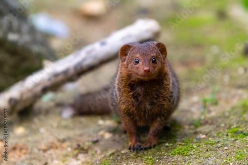 portrait of brown dwarf mangoose Canvas