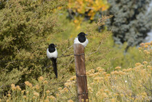Two Black Billed Magpie Birds Or Pica Hudsonia Perched On Fence And Fence Post Amid Autumn Vegetation