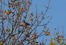 American Robin Bird Camouflaged By Autumn Leaves While Perched On Tree Branch