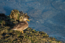 One Female Duck Resting On Roc...