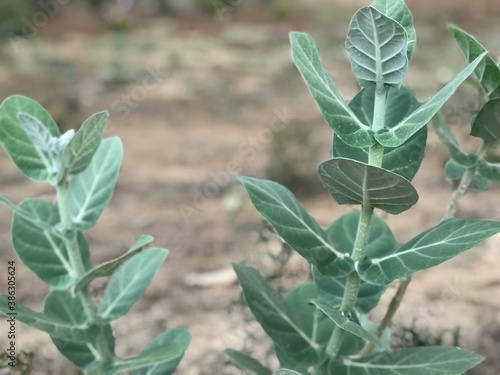 Photo Shrub calotropis gigantea plant images and it hosts butterfly and many insect