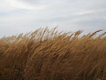 Dry Autumn Grass. Beautiful Na...