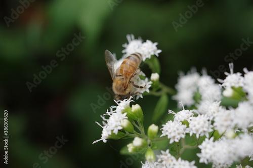 Fototapeta Honey bee worker collecting pollen