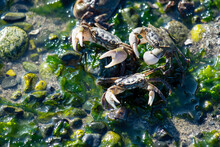 Angry Crabs In The Water At Sp...