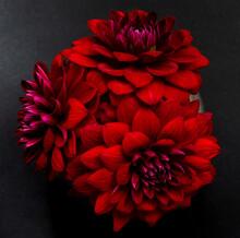 Lush Dark Red Dahlias On A Bla...