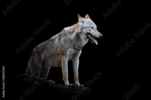 Fototapeta Wolf isolated on black background obraz na płótnie