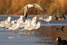 Black-headed Gull, Chroicocephalus Ridibundus, Flock Standing On Ice In Winter. Group Of Aquatic Birds Looking On Frozen Water. Feathered White Animal Flying Over The River.