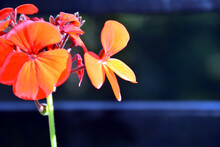 Picture Of Red Geranium In Garden Uttarakhand