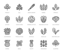 Green Vegetables Flat Line Icons Set. Lettuce, Spinach, Cress Salad, Chard, Dill, Celery Vector Illustrations. Outline Pictogram For Fresh Food Vegan Store. Pixel Perfect 64x64. Editable Strokes