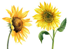 Sunflower On Isolated White Background, Watercolor Illustration. Perfect For Wedding, Invitation, Postcard Template