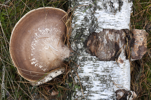 Białoporek brzozowy na pniu brzozy - 386352863