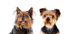 Two Cute Puppies Yorkshire Ter...