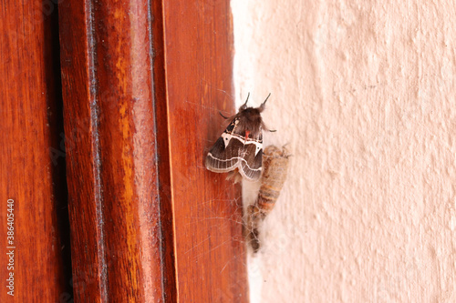 Fotografía Moth just emerged from his cacoon