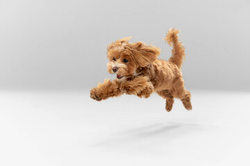 Sincere emotions. Maltipu little dog is posing. Cute playful braun doggy or pet playing on white studio background. Concept of motion, action, movement, pets love. Looks happy, delighted, funny.