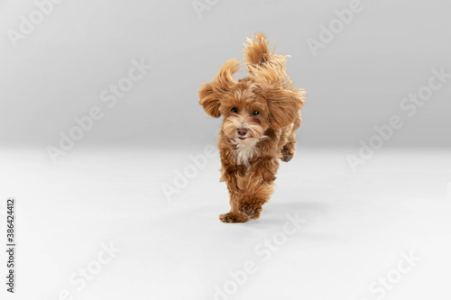 Obraz Sincere emotions. Maltipu little dog is posing. Cute playful braun doggy or pet playing on white studio background. Concept of motion, action, movement, pets love. Looks happy, delighted, funny. - fototapety do salonu