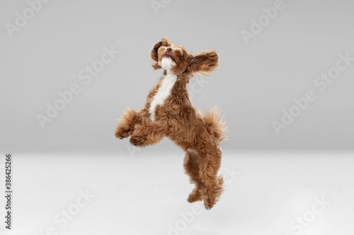 Obraz Best friends. Maltipu little dog is posing. Cute playful braun doggy or pet playing on white studio background. Concept of motion, action, movement, pets love. Looks happy, delighted, funny. - fototapety do salonu