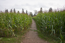 The Entrance To A Corn Maze In A Farm During The Annual Pumpkin Patch Festival. Selective Focus.