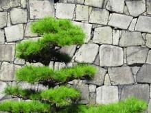 大阪城天守台の石垣と松