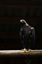 A Large Golden Eagle Sits On A...
