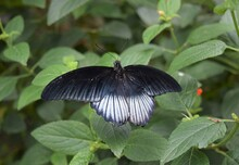 A Black White Butterfly Staying On The Green Plant