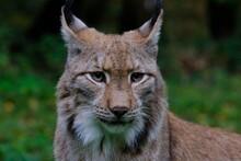 Portrait Of A Lynx, Bobcat