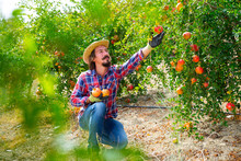 Portrait Of Positive Gardener Gathering Crop Of Ripe Pomegranate Fruits In Orchard On Sunny Day