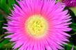 canvas print picture - Flowers of Carpobrotus edulis, invasive plant native to South Africa