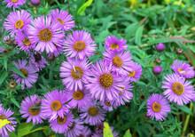 Purple English Asters Are Pere...