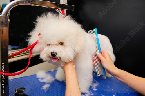 Canvas Print A small beautiful and adorable white bichon frise dog being groomed by a profess
