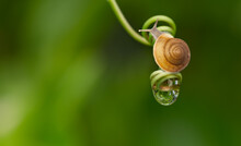 Garden Snail In Nature With Wa...