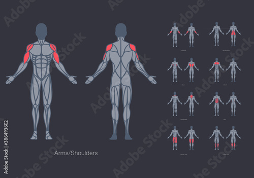 Canvas Print Human muscles anatomy model vector design template