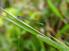 Macrophotography Of A Common Blue Damselfly On A Spade Of Grass. Captured At The Central Andean Mountains Of Colombia, Near The Colonial Town Of Villa De Leyva, Department Of Boyaca.