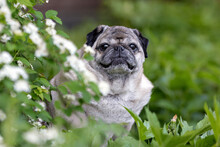 Senior Pug Sits In The Green Grass And Looks Into The Camera