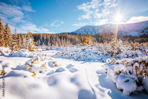 Obraz Fantastic winter landscape with spruces covered in snow. - fototapety do salonu