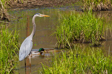 Great Blue Heron Wading In A W...