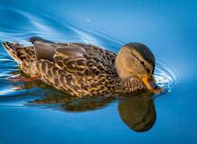 Swimming Mallard Duck On Calm ...