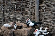Ducks And Gooses In Cossack's ...