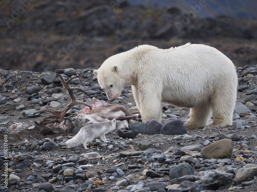 Canvastavla An arctic fox trying to eat a piece of a reindeer hunted and eaten by a polar bear