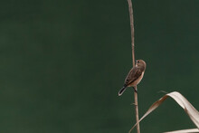Common Stonechat On The Reed