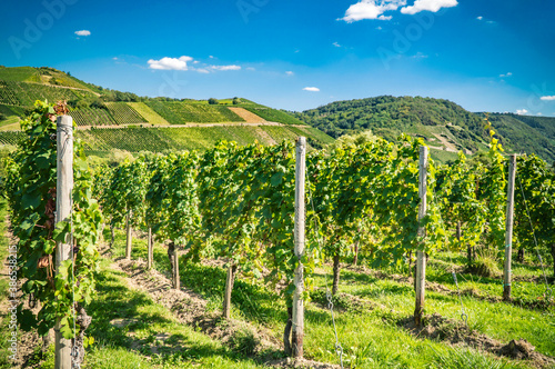 Vineyard on moselle