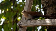 Brazilian Squirrel Cuckoo