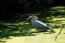 Heron Eating Carp In A Pond Wi...