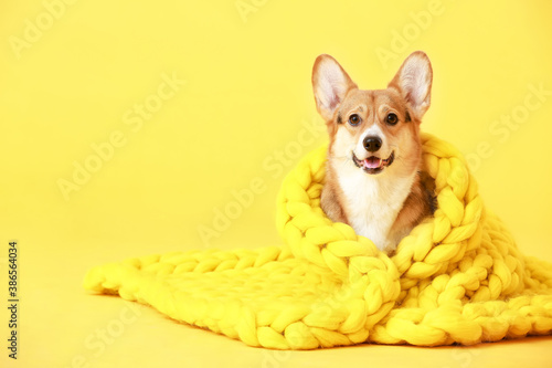 Leinwand Poster Cute dog with warm blanket on color background