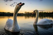 Mute Swans (Cygnus Olor) In La...