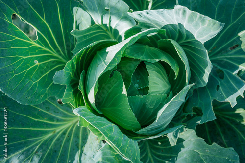 Ripe juicy cabbage close-up frontal from the top view. Canvas Print