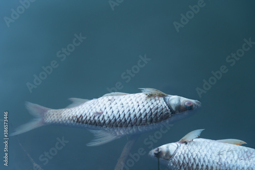Obraz dead body of fish floating on blue natural water lake environment pollution background  - fototapety do salonu