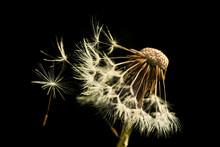Fluffy Dandelion (Taraxacum Officinale) Seed Head Detail Half Blown Away On Black Background