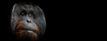 Template Of Portrait Of Orang Utan With A Black Background