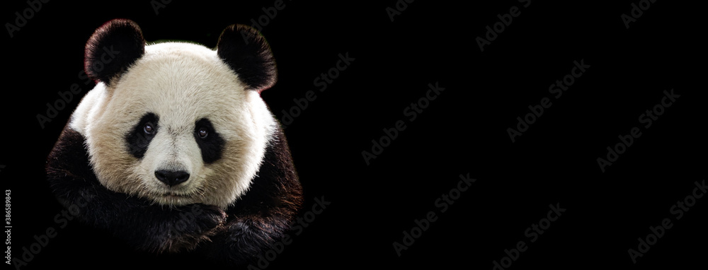 Fototapeta Template of Portrait of panda with a black background
